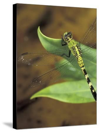 Green Clearwing on Twig, Key West Lighthouse, Florida, USA-Maresa Pryor-Stretched Canvas Print