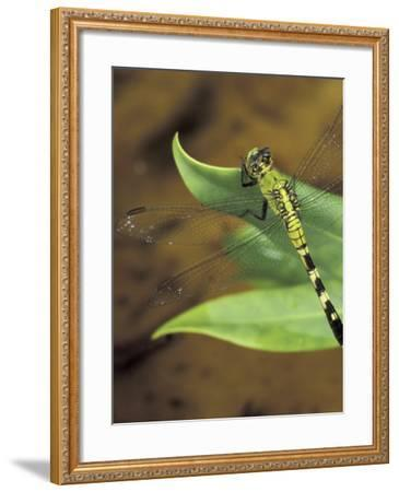 Green Clearwing on Twig, Key West Lighthouse, Florida, USA-Maresa Pryor-Framed Photographic Print