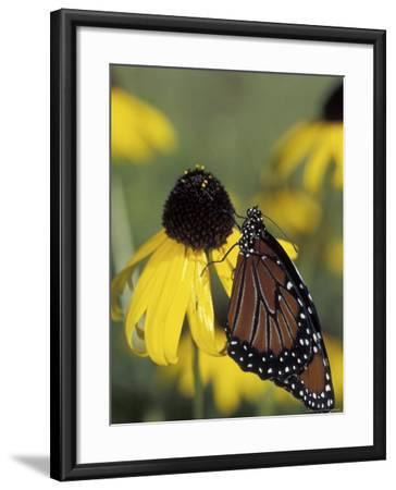 Queen Butterfly on Black-Eyed Susan, Florida, USA-Maresa Pryor-Framed Photographic Print