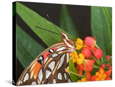 Gulf Fritillary Butterfly on Milkweed Flowers, Florida-Maresa Pryor-Stretched Canvas Print