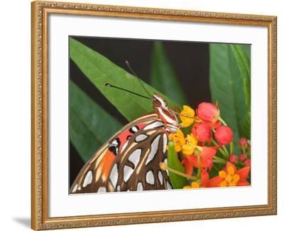 Gulf Fritillary Butterfly on Milkweed Flowers, Florida-Maresa Pryor-Framed Photographic Print