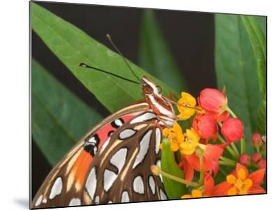 Gulf Fritillary Butterfly on Milkweed Flowers, Florida-Maresa Pryor-Mounted Photographic Print