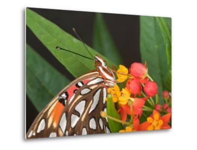 Gulf Fritillary Butterfly on Milkweed Flowers, Florida-Maresa Pryor-Metal Print