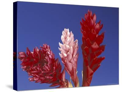 Ginger Trio and Blue Sky, Maui, Hawaii, USA-Darrell Gulin-Stretched Canvas Print
