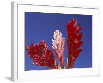 Ginger Trio and Blue Sky, Maui, Hawaii, USA-Darrell Gulin-Framed Photographic Print