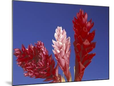 Ginger Trio and Blue Sky, Maui, Hawaii, USA-Darrell Gulin-Mounted Photographic Print