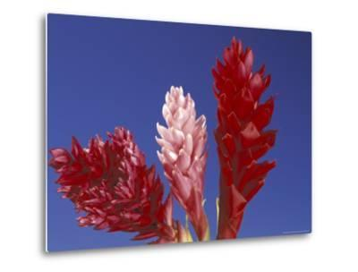 Ginger Trio and Blue Sky, Maui, Hawaii, USA-Darrell Gulin-Metal Print