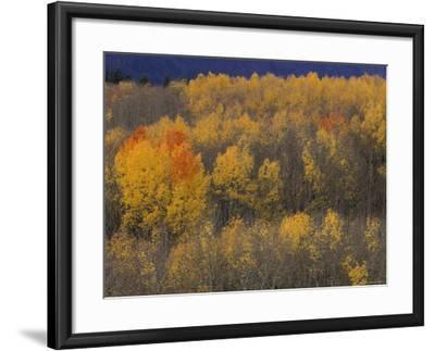 Aspen Grove in Fall, Victor, Idaho, USA-Jamie & Judy Wild-Framed Photographic Print
