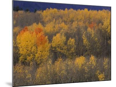 Aspen Grove in Fall, Victor, Idaho, USA-Jamie & Judy Wild-Mounted Photographic Print