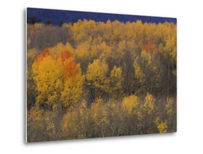 Aspen Grove in Fall, Victor, Idaho, USA-Jamie & Judy Wild-Metal Print