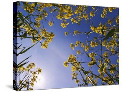 Mustard Flowers, Shaker Village of Pleasant Hill, Kentucky, USA-Adam Jones-Stretched Canvas Print