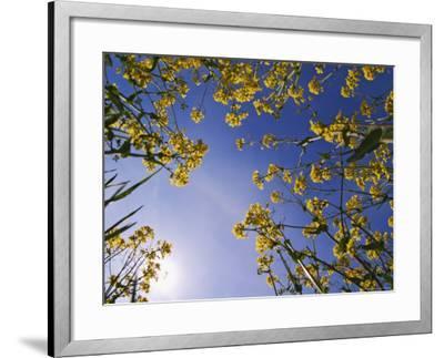 Mustard Flowers, Shaker Village of Pleasant Hill, Kentucky, USA-Adam Jones-Framed Photographic Print