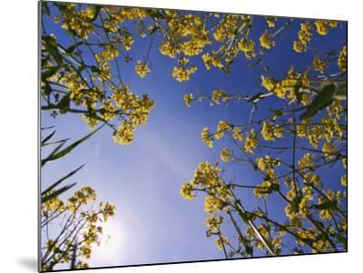 Mustard Flowers, Shaker Village of Pleasant Hill, Kentucky, USA-Adam Jones-Mounted Photographic Print
