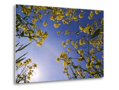 Mustard Flowers, Shaker Village of Pleasant Hill, Kentucky, USA-Adam Jones-Metal Print