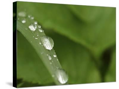 Close-up of a Blade of Grass with Fresh Clear Water Droplets--Stretched Canvas Print