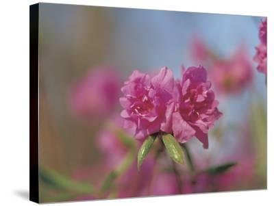 Close-up of Bright Pink Wildflower Blossoms--Stretched Canvas Print