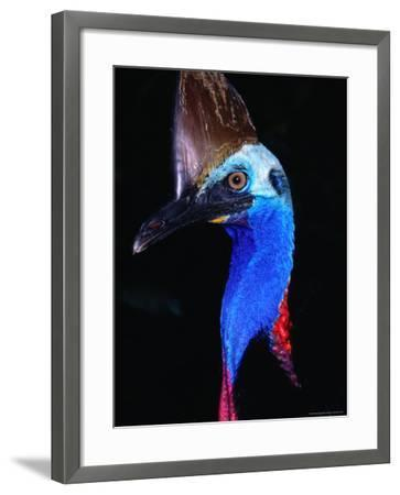 Southern Cassowary (Casuarius Casuarius), Daintree National Park, Queensland, Australia-Mitch Reardon-Framed Photographic Print