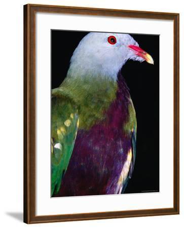 Wompoo Fruit Dove (Ptilinopus Magnificus), Iron Range National Park, Queensland, Australia-Mitch Reardon-Framed Photographic Print