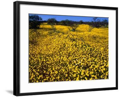 Desert Annual Wildflowers After Rain, Kalbarri National Park, Australia-Mitch Reardon-Framed Photographic Print