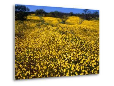 Desert Annual Wildflowers After Rain, Kalbarri National Park, Australia-Mitch Reardon-Metal Print