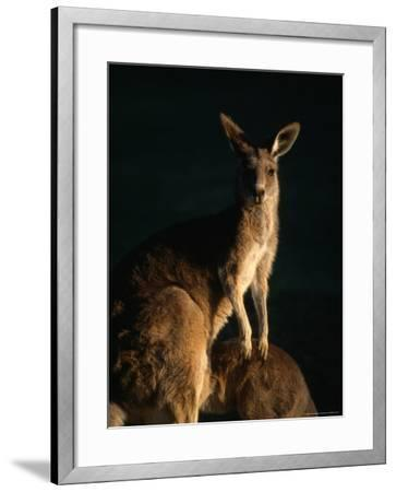 Kangaroo at Night, Anglesea, Australia-John Banagan-Framed Photographic Print