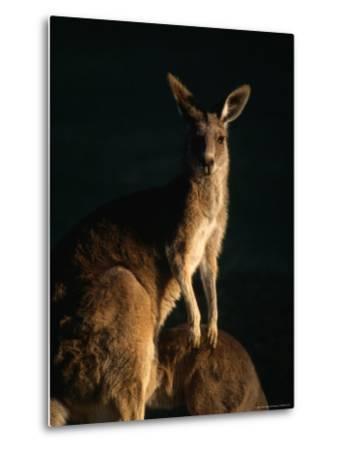 Kangaroo at Night, Anglesea, Australia-John Banagan-Metal Print