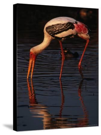 Painted Stork (Ibis Leucocephalus), Sri Lanka-Lawrence Worcester-Stretched Canvas Print