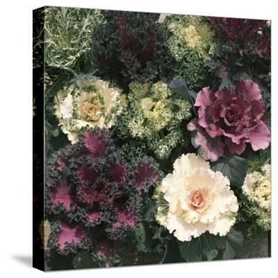 Ornamental Cabbage, Mixed Autumn and Winter-Michele Lamontagne-Stretched Canvas Print