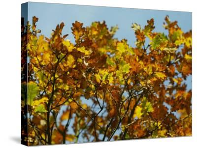 Branches of an Oak Tree with Its Leaves Turning Golden at Kenilworth Castle in Warwickshire--Stretched Canvas Print