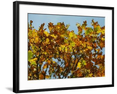 Branches of an Oak Tree with Its Leaves Turning Golden at Kenilworth Castle in Warwickshire--Framed Photographic Print