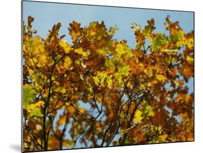 Branches of an Oak Tree with Its Leaves Turning Golden at Kenilworth Castle in Warwickshire--Mounted Photographic Print