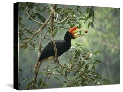 Young Rhinoceros Hornbill Feeds on a Fig from a Strangler Fig Tree in Borneo, Indonesia-Tim Laman-Stretched Canvas Print