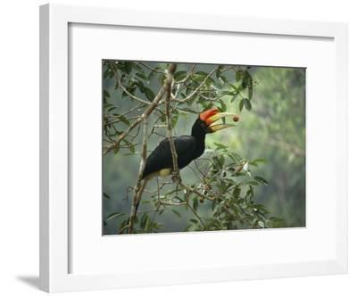 Young Rhinoceros Hornbill Feeds on a Fig from a Strangler Fig Tree in Borneo, Indonesia-Tim Laman-Framed Photographic Print