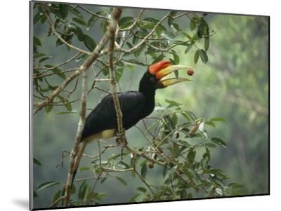 Young Rhinoceros Hornbill Feeds on a Fig from a Strangler Fig Tree in Borneo, Indonesia-Tim Laman-Mounted Photographic Print