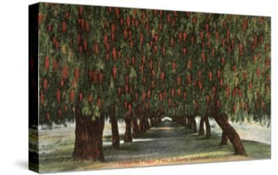 California - Groves of Pepper Trees-Lantern Press-Stretched Canvas Print