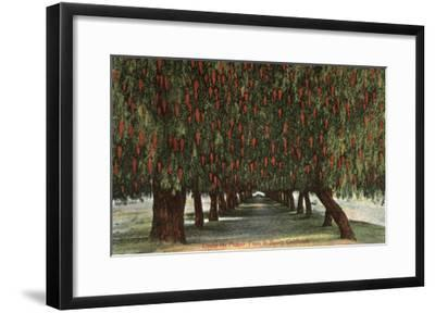 California - Groves of Pepper Trees-Lantern Press-Framed Art Print