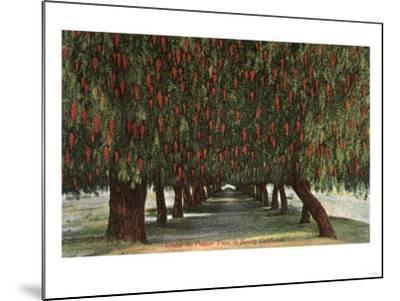 California - Groves of Pepper Trees-Lantern Press-Mounted Art Print