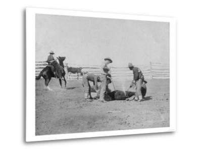 Cowboys Branding a Calf Photograph - South Dakota-Lantern Press-Metal Print