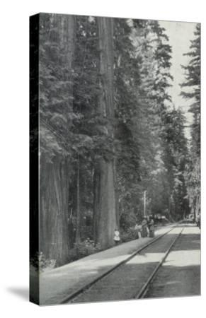 View of Big Tree Grove Park - Santa Cruz, CA-Lantern Press-Stretched Canvas Print