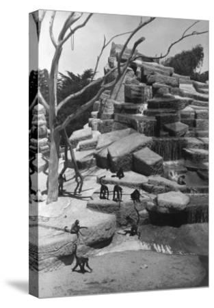 View of Monkey Island at the Zoo - San Francisco, CA-Lantern Press-Stretched Canvas Print