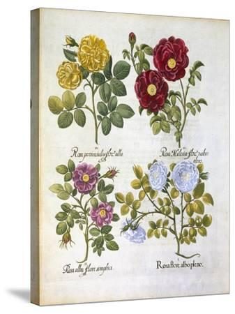 Roses, Plate 96 from Hortus Eystettensis by Basil Besler--Stretched Canvas Print