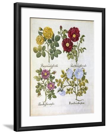 Roses, Plate 96 from Hortus Eystettensis by Basil Besler--Framed Giclee Print