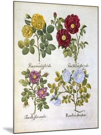 Roses, Plate 96 from Hortus Eystettensis by Basil Besler--Mounted Giclee Print