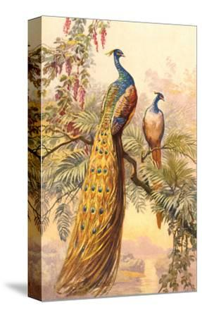 Peacock and Peahen, Illustration--Stretched Canvas Print