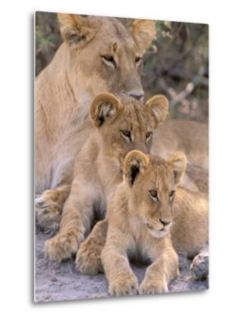 Lioness and Cubs, Okavango Delta, Botswana-Pete Oxford-Metal Print