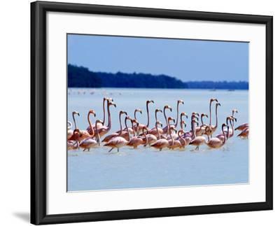Flamingos at Laguna Oviedo, Dominican Republic, Caribbean-Greg Johnston-Framed Photographic Print