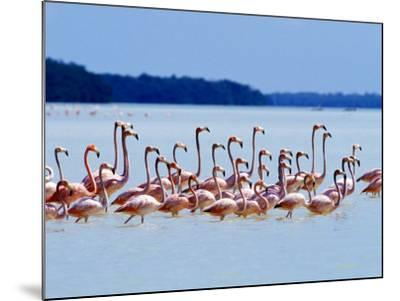 Flamingos at Laguna Oviedo, Dominican Republic, Caribbean-Greg Johnston-Mounted Photographic Print