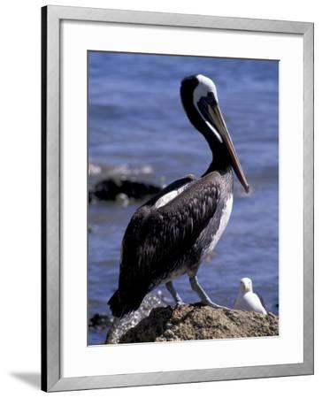 Peruvian Pelican, Coquimbo, Chile-Andres Morya-Framed Photographic Print
