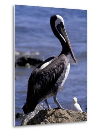 Peruvian Pelican, Coquimbo, Chile-Andres Morya-Metal Print
