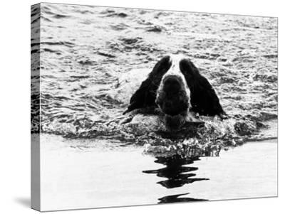 Skye the St. Bernard Dog Swimming--Stretched Canvas Print